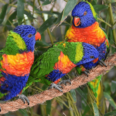 Birdsgather Lorikeets sale