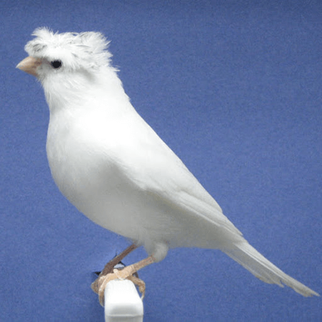 White Crested Canary