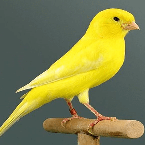 Birdsgather Yellow Canary Sale